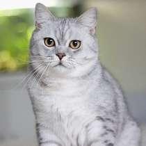 Красивый шотландский котик, в г.Москва