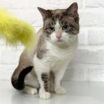 Красавица Хайди, молодая кошечка, метис сиамской кошки в дар, в г.Москва