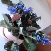 Фиалка 3 расцветки, в г.Жодино