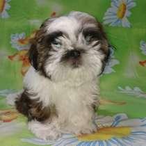 Продам щенков Ши-тцу, в г.Астана