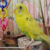 Птенец волнистого попугая, в г.Астрахань