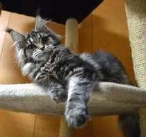 Продам котенка Мэйн Кун, в Люберцы
