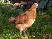 Цыплята Кучинская Юбилейная, в Железнодорожном