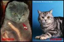 Клубные котята в разведение. Недорого!, в Москве