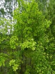 Саженцы дуба, в Екатеринбурге