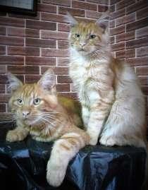 Продаются котята мейн кун, в Екатеринбурге