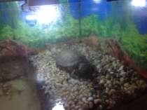 Красноухая черепаха, в Екатеринбурге