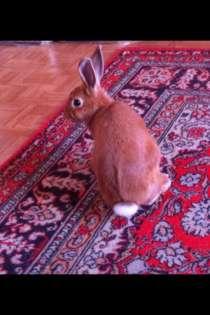 Продам кролика, в Старом Осколе