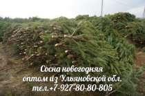 Сосна новогодняя оптом, в Воронеже