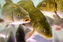 Живая рыба карп оптом. Цена рыбхоза. Доставка, в Белгороде