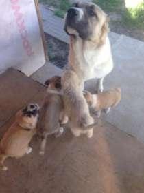 Отдам замечательных щенков алабая метисов в добрые руки!, в Обнинске