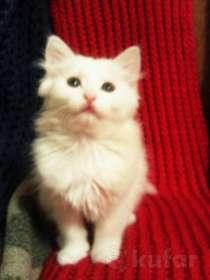 Белые пушистые котята в дар, в г.Минск