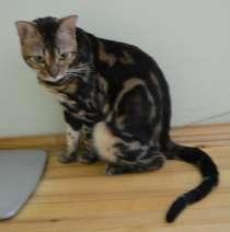 Бенгальский кот мраморного окраса, в Екатеринбурге
