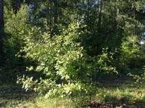 Саженцы яблони сибирской, клена, ясеня, сирени, в Екатеринбурге