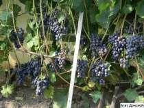 Отличные саженцы холодостойкого винограда, в Москве