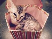 Котята донских сфинксов, в Челябинске