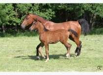 Продажа лошадей арабской чистокровной породы, в Абинске