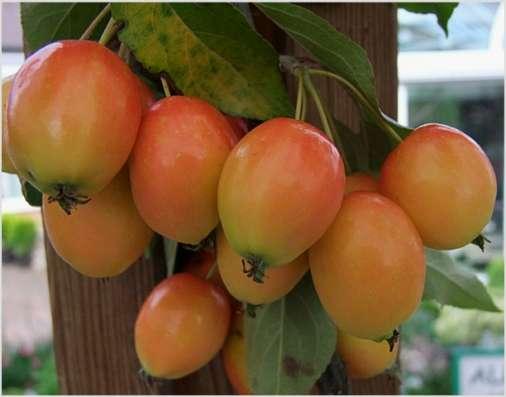 Саженцы райской яблони сортовые в г. Минск Фото 3