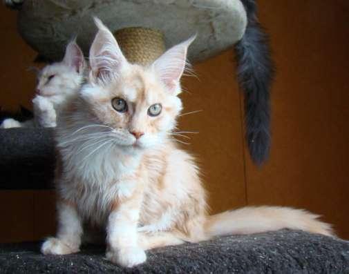 Продам кошечку породы мейн кун - Ксена в Томилино Фото 2