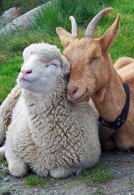 Комбикорм для коз и овец
