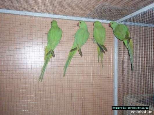 Птенцы Ожереловых попугаев