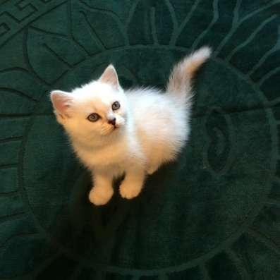 Британский котенок шоу класса мальчик Цезарь