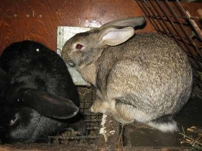 кролики мясной породы в Омске Фото 5