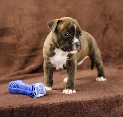 For Sale American Staffordshire Terrier puppy UKU в г. Киев Фото 5
