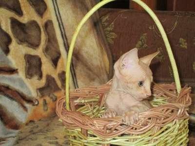 Котята канадского сфинкса в Архангельске Фото 5
