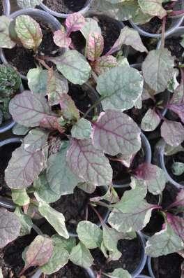 Почвопокровные растения: копытень, живучки, дюшенея