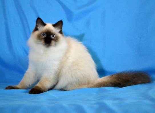 Шикарный Невский маскарадный котик в г. Киев Фото 1