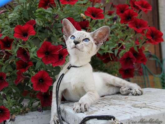 Сиамские котята, современного типа