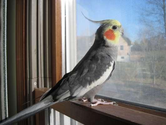 Корелла (Попугай) в Перми Фото 1