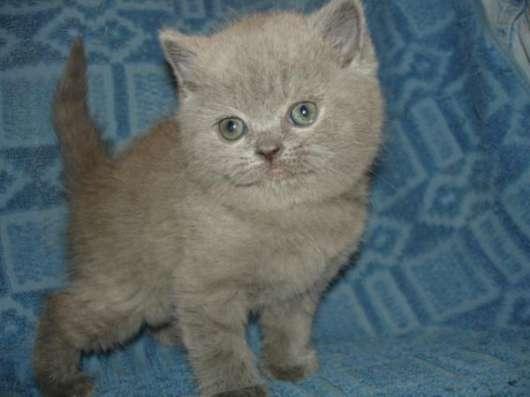 Шотландские Вислоухие котята и Британские прямоухие котята.окрас Вискас,Голубой,Лиловый,Чёрный.