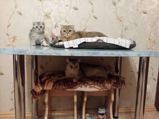 Клубный шотландский котенок в Одинцово Фото 1