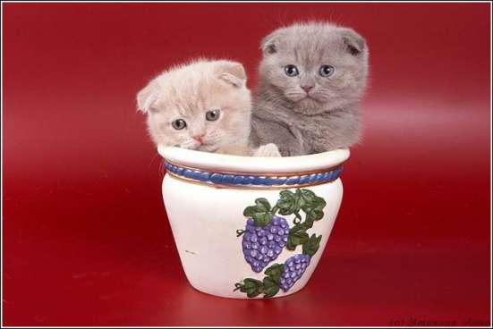 Клубные котята в Москве Фото 4