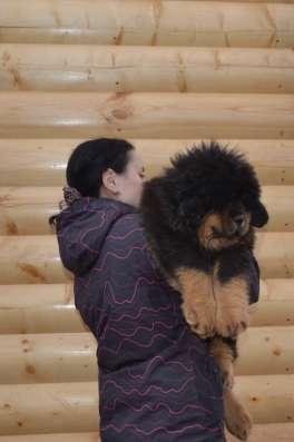 Тибетский мастиф - лучший охранник в Москве Фото 2