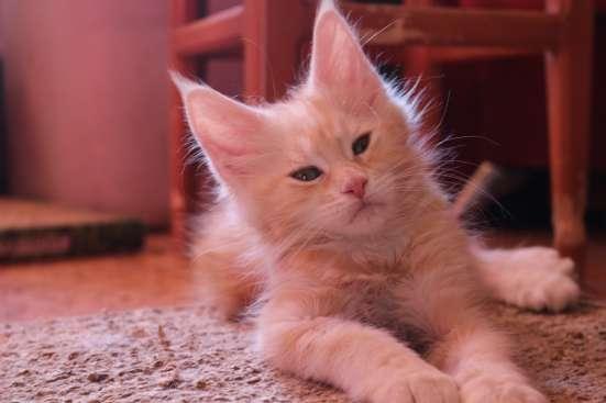 Продам котят породы мейн кун в Междуреченске Фото 1