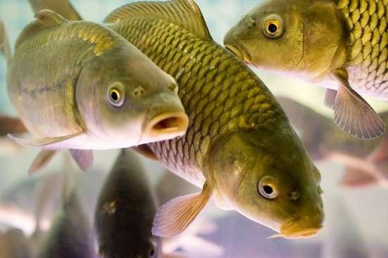 Живая рыба карп оптом. Цена рыбхоза. Доставка