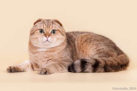 Золотой пятнистый кот на вязку