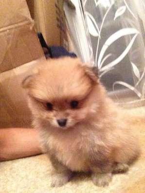 Шпица щенка продам