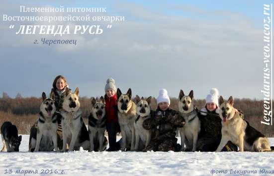 Щенков, собак породы восточноевропейская овчарка