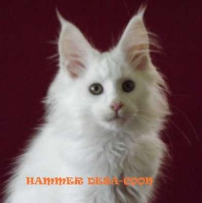 Мейн-кун котята в г. Аксай Фото 2