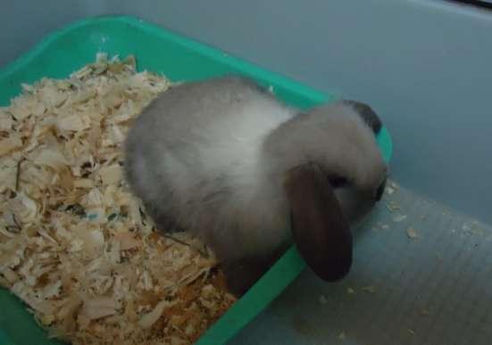 Крольчата вислоухие карликовые