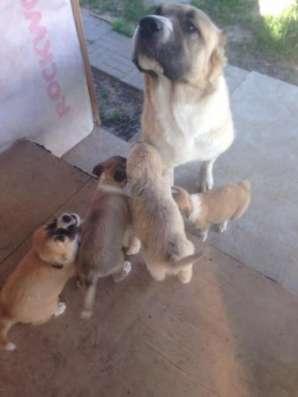 Отдам замечательных щенков алабая метисов в добрые руки!