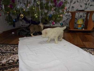 щенки алабая 1 месяц