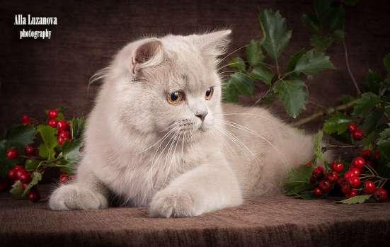 Продается! Британский длинношерстный котик в Санкт-Петербурге Фото 2