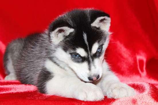 Сибирский Хаски щенок чёрно-белый