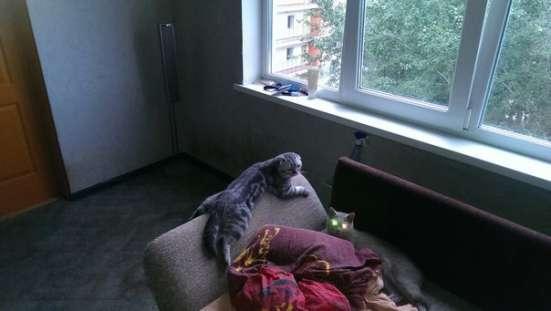 Вязка с шотландским вислоухим котом в Екатеринбурге Фото 2