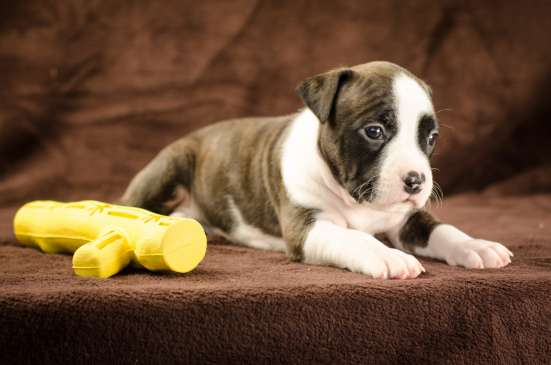 For Sale American Staffordshire Terrier puppy UKU в г. Киев Фото 1